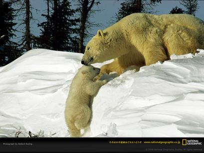 Polarbearcoaxingbaby